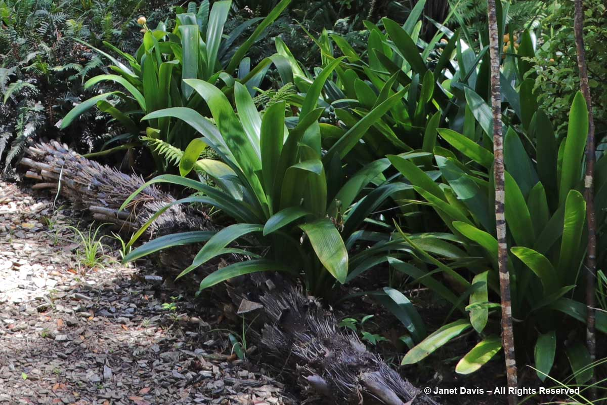 Tree fern path edging-Omaio