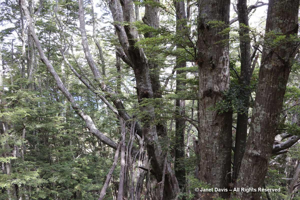 Beech forest-Ben Lomond-Queenstown