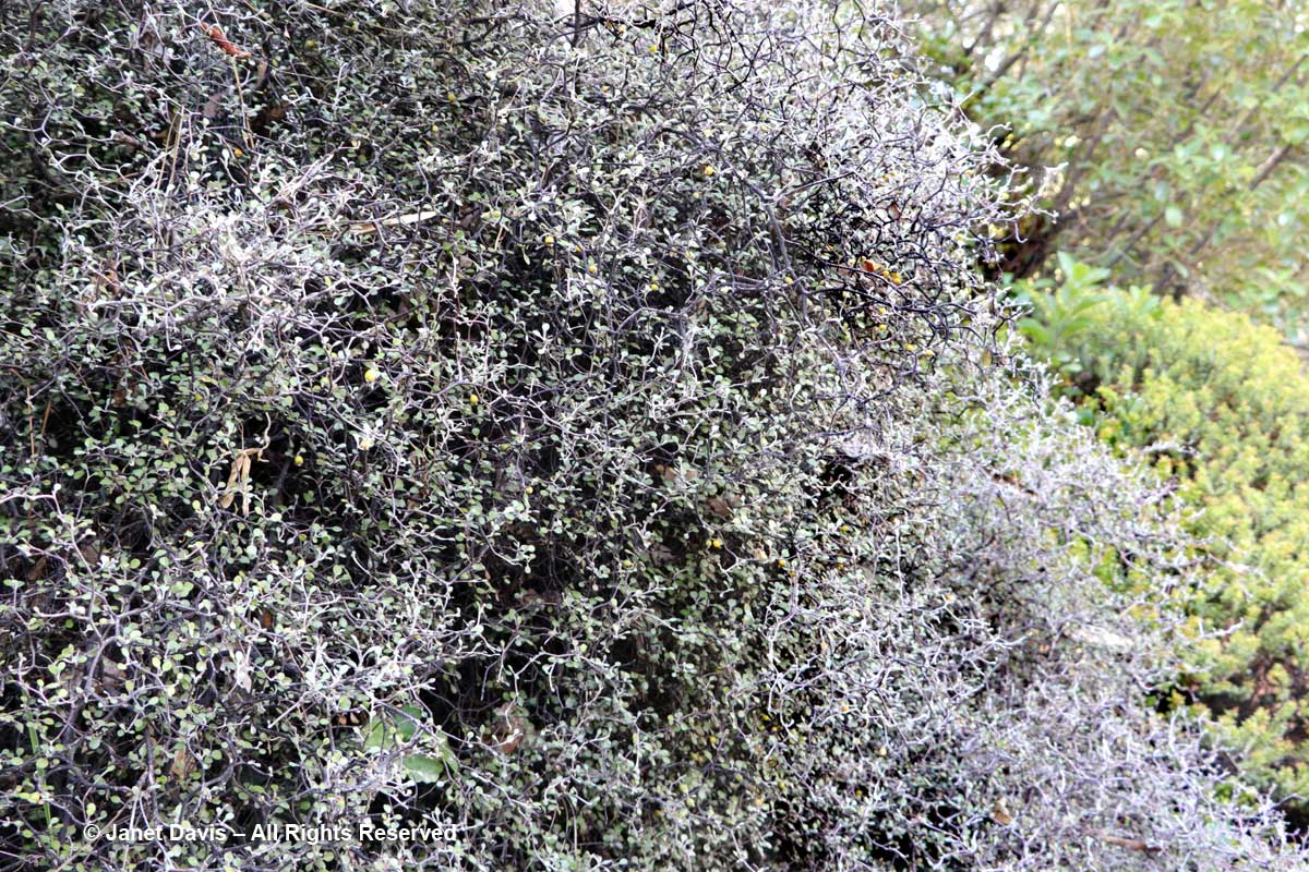 Corokia cotoneaster-wire netting bush