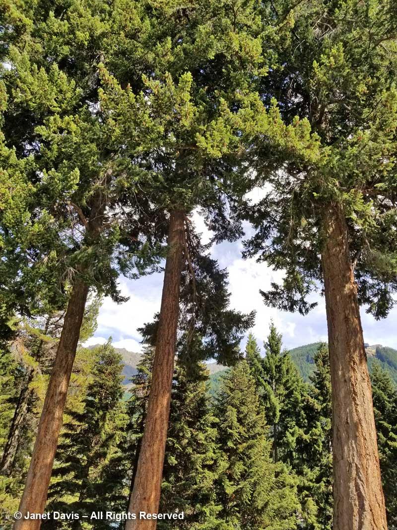 Douglas firs-Pseudotsuga menziesii-Queenstown Public Garden