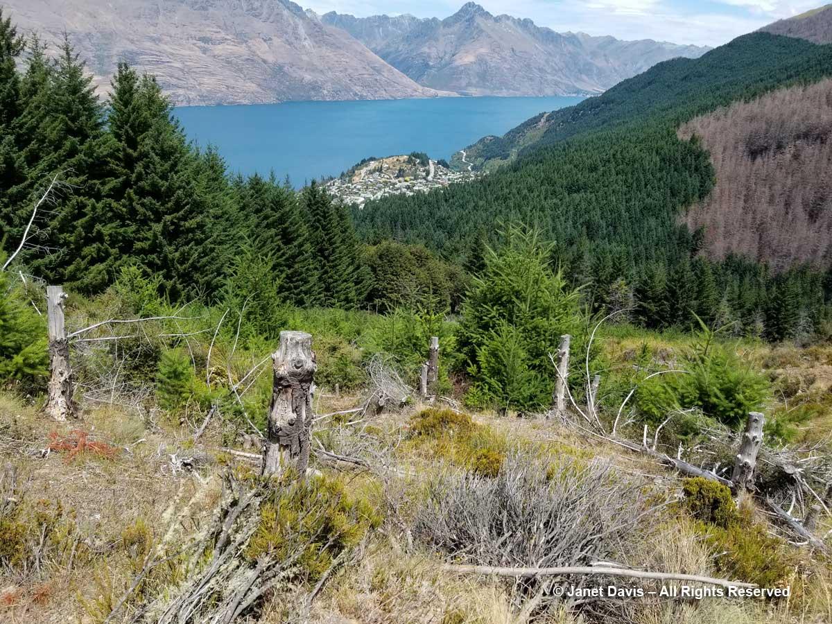 Douglas firs-wilding control-Ben Lomond