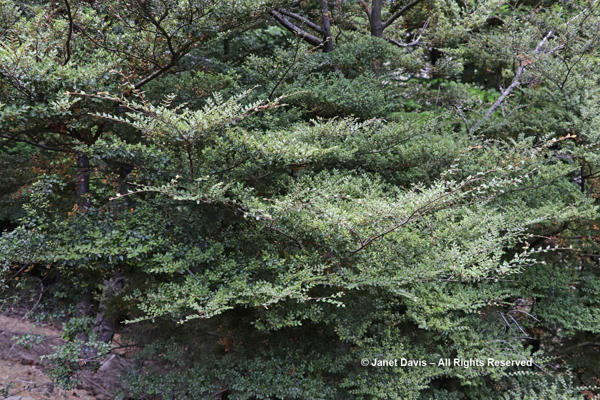 Fuscospora cliffortioides-Mountain Beech-Ben Lomond-Queenstown