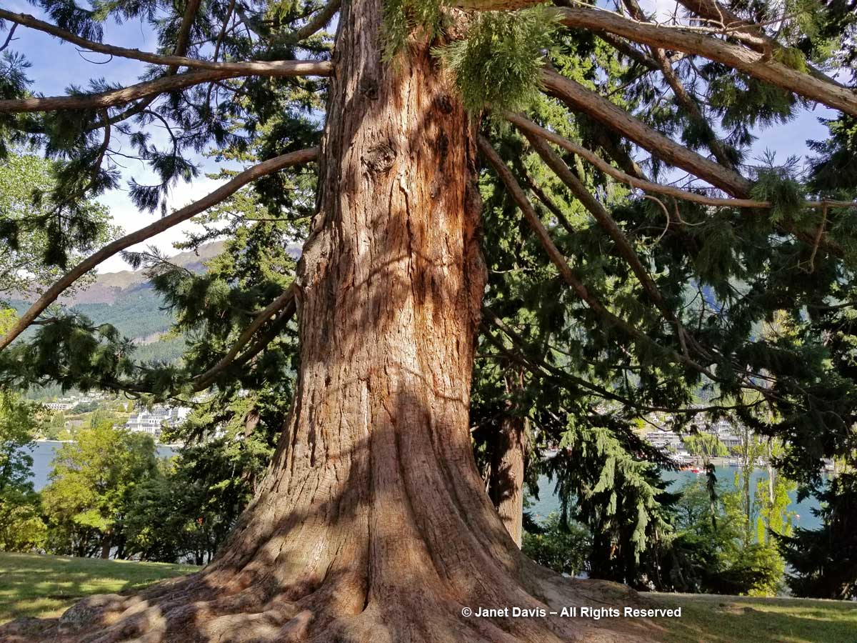 Giant Redwood-Sequoiadendron giganteum-Queenstown Public Garden