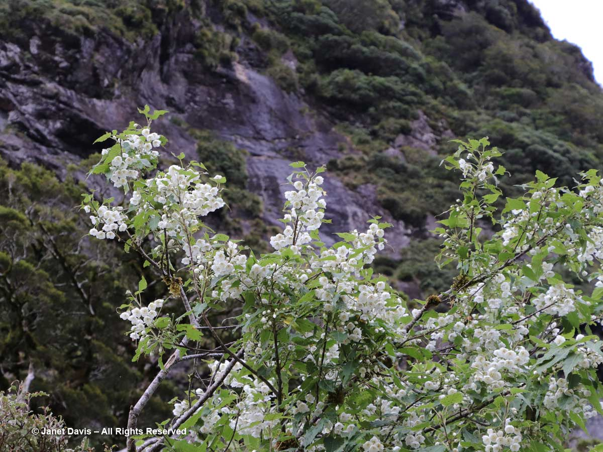 Hoheria glabrata-Wilmot Pass-Doubtful Sound-Fiordland