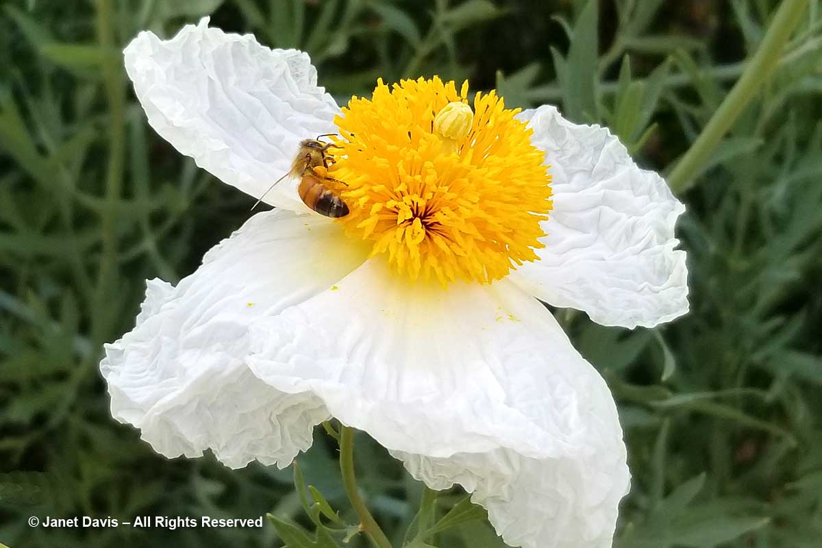 Honey bee on Romneya coulteri-Matilija poppy