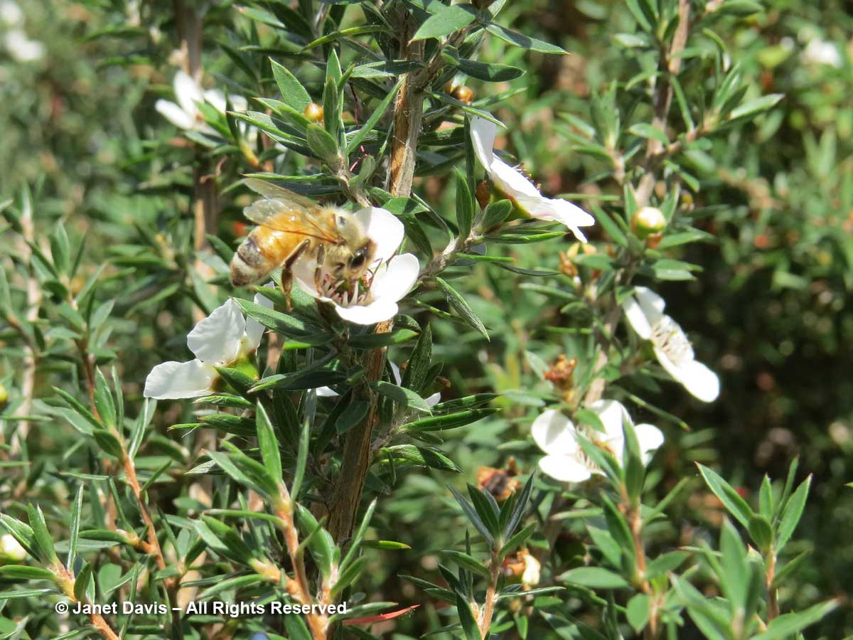 Honey bee on manuka-Leptospsermum scoparium