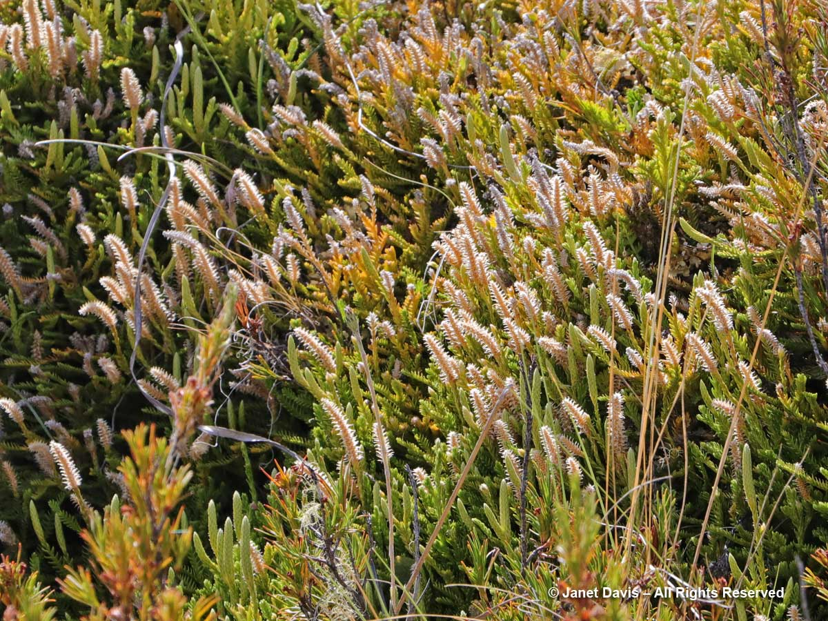 Lycopodium fastigiatum-Alpine club moss-Ben Lomond-Queenstown