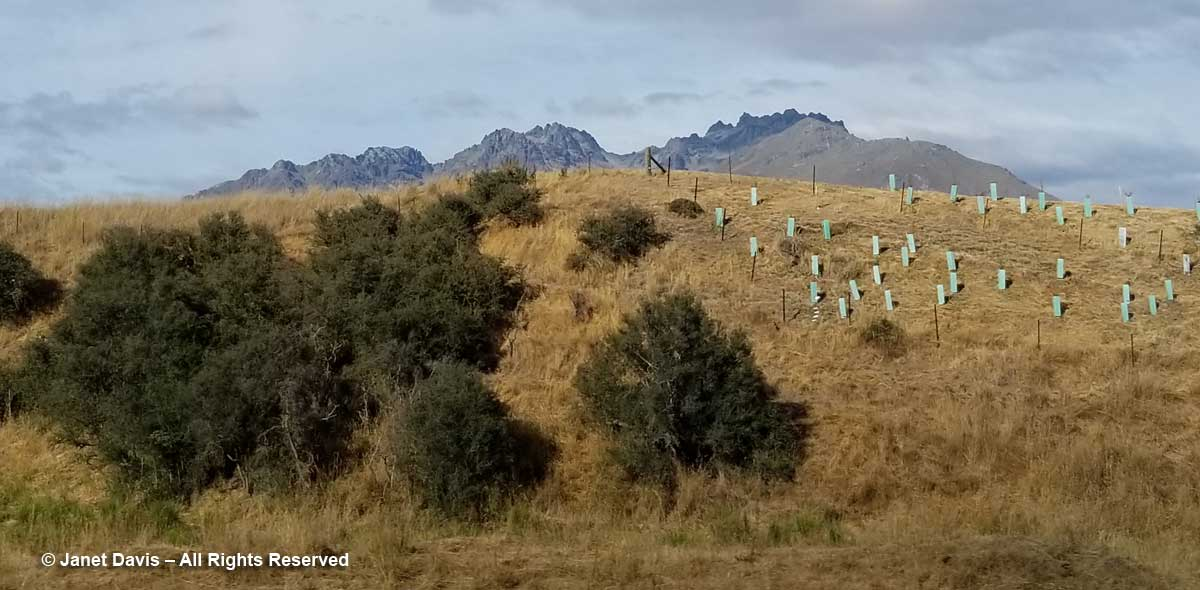 Matagouri and sapling protection-Otago-Highway 6-New Zealand