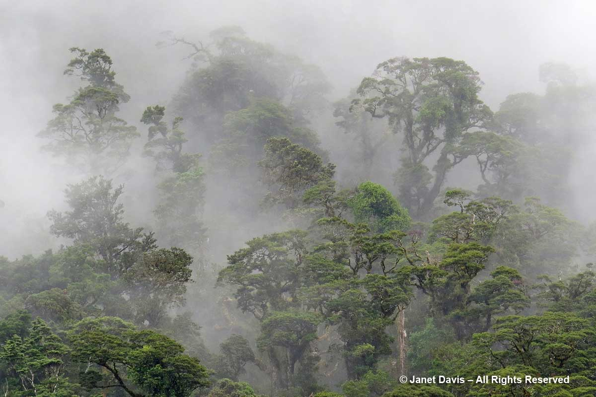 Misty trees-Doubtful Sound-rainforest