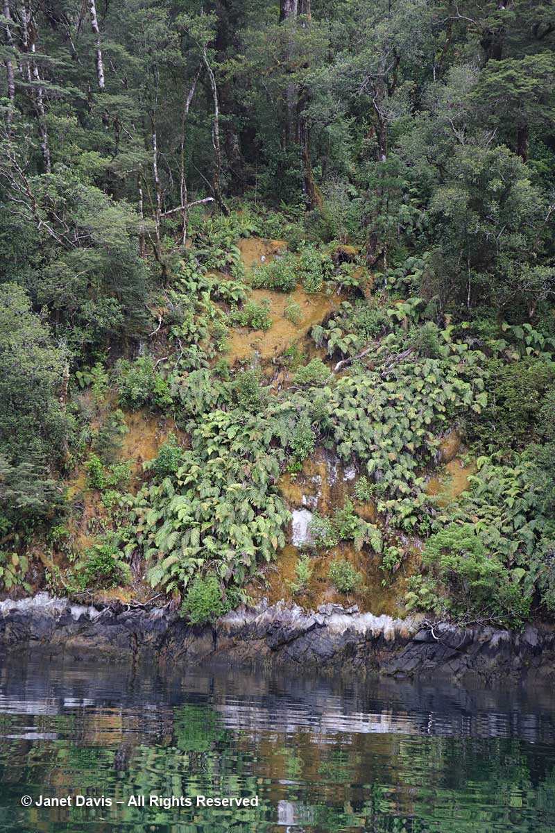 Moss-terrestrial-crown ferns-Blechnum discolor-Doubtful Sound