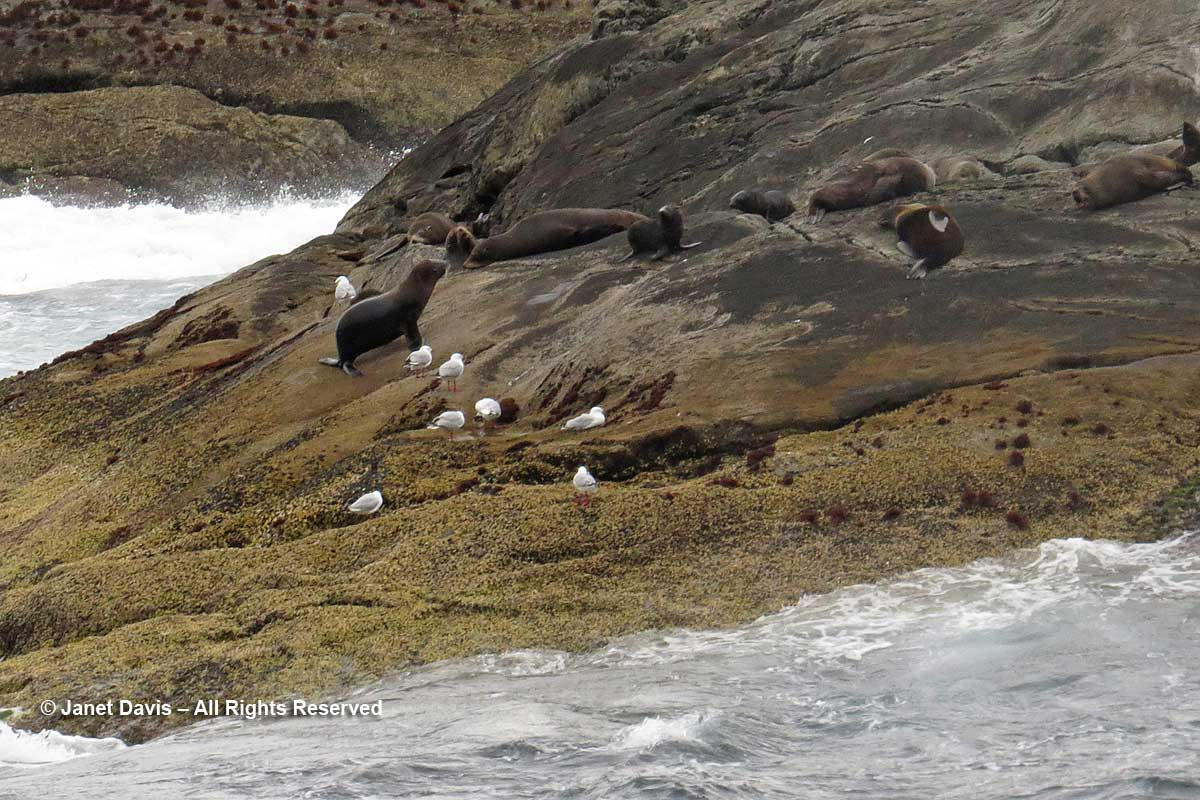 New-Zealand-Fur seals and gulls-Nee Islets-Doubtful Sound