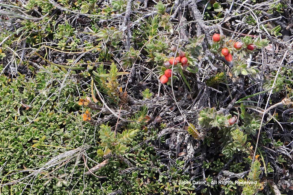 Podocarpus nivalis-Snow totara-fruit-Ben Lomond-Queenstown