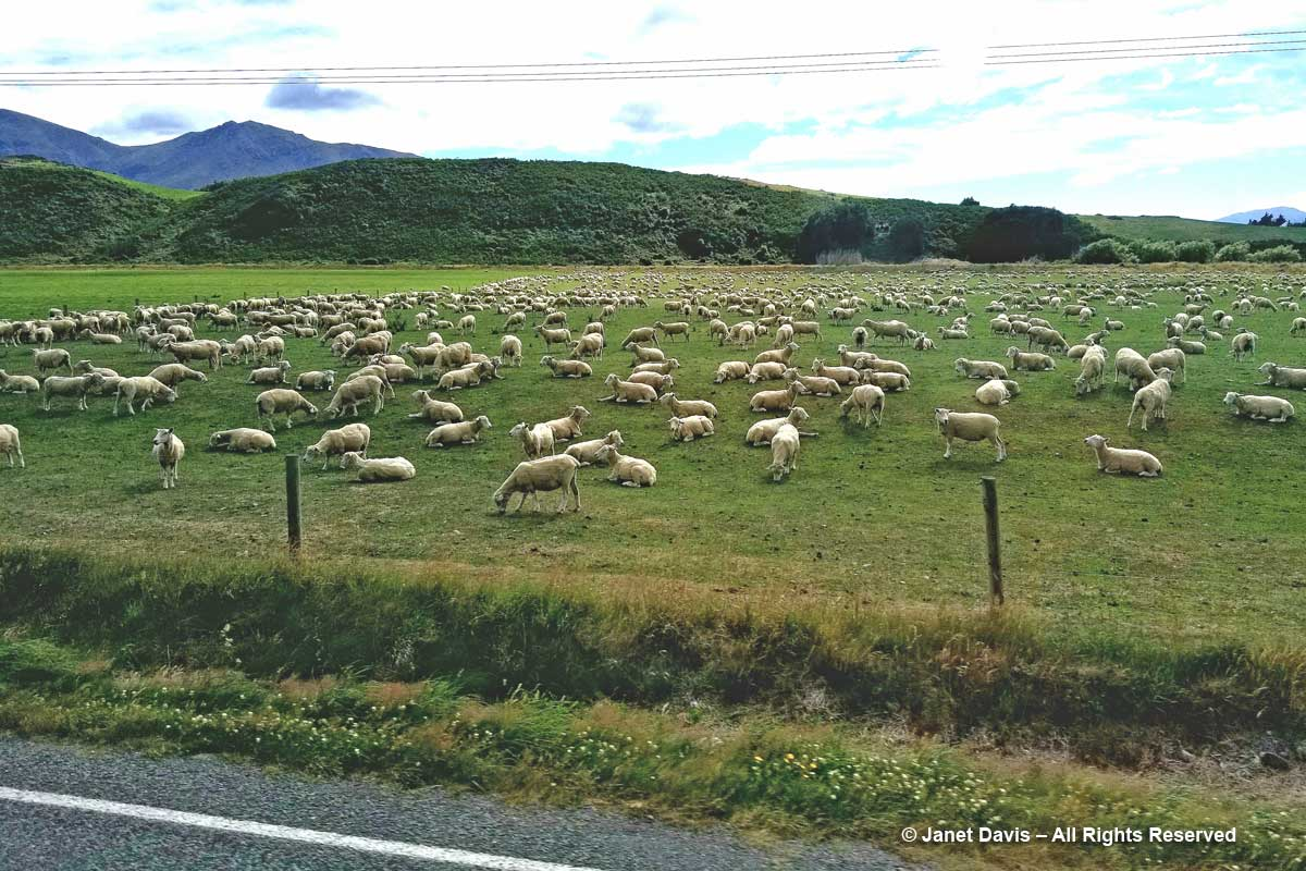 Sheep farm-Southland-New Zealand