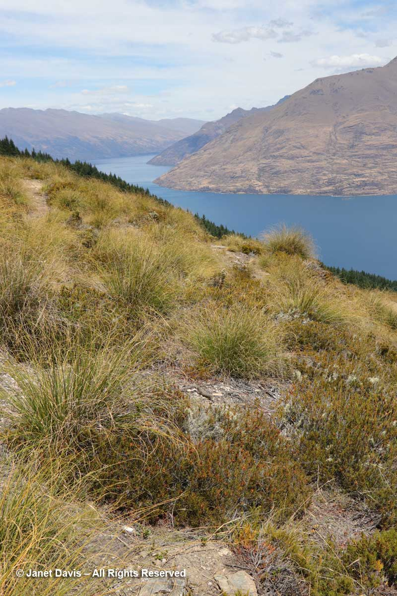 Tussock meadow-Ben Lomond-Queenstown