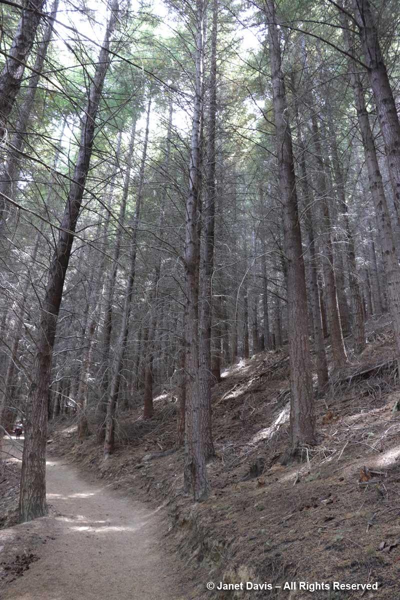 Wilding-Douglas Fir forest-Ben Lomond