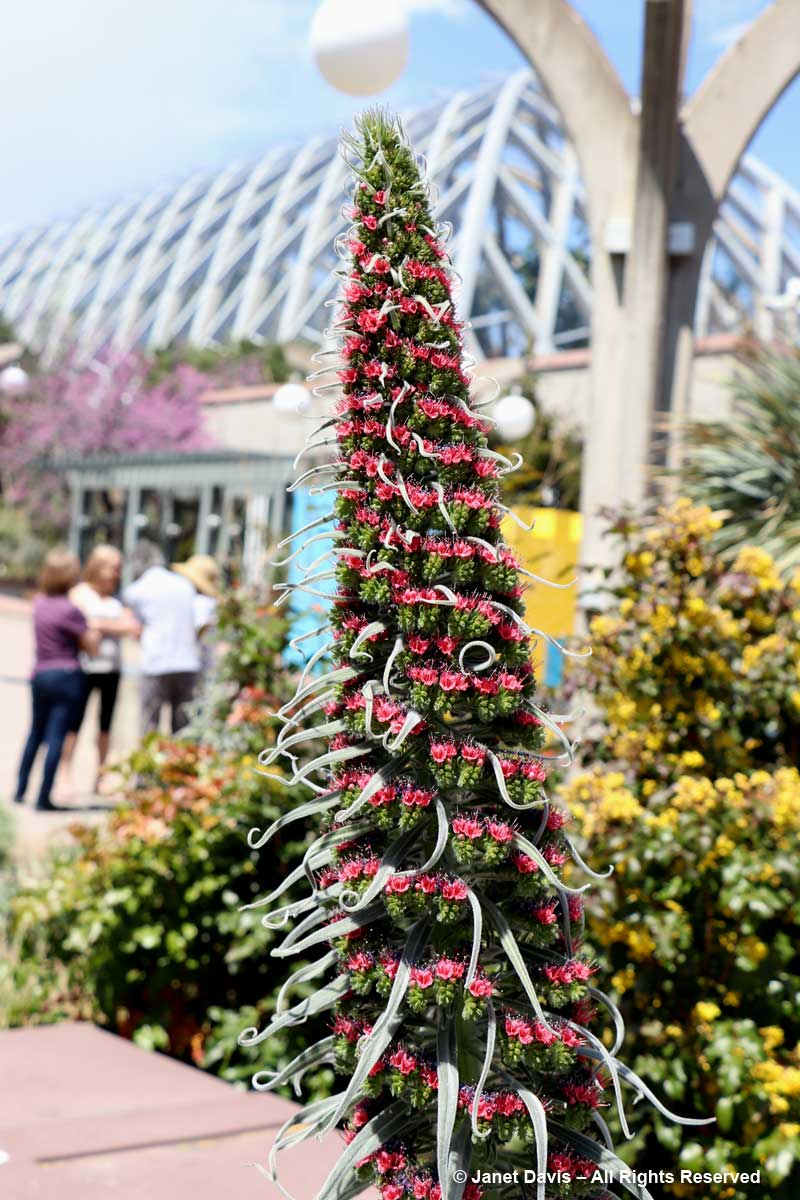Going In, We Were Impressed By The Towering Specimens Of Coral  Tower Of Jewels (Echium Wildpretii), A Show Stopper If There Ever Was One!