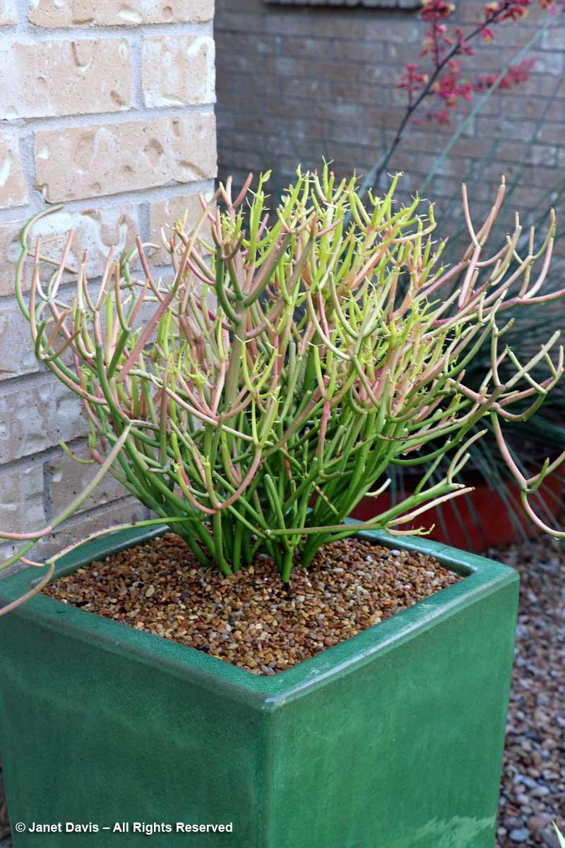 anemonen pflanzen wikipedia