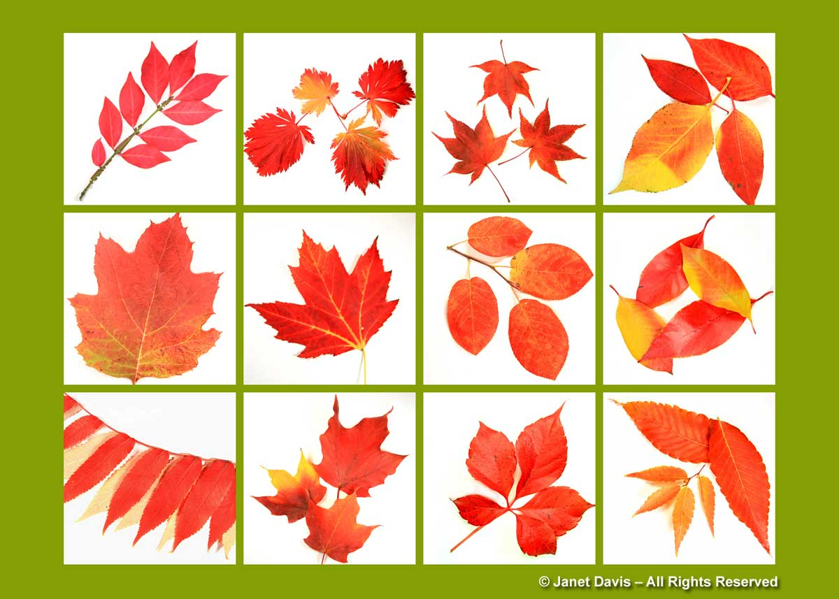 Fall Foliage The Reds Janet Davis Explores Colour
